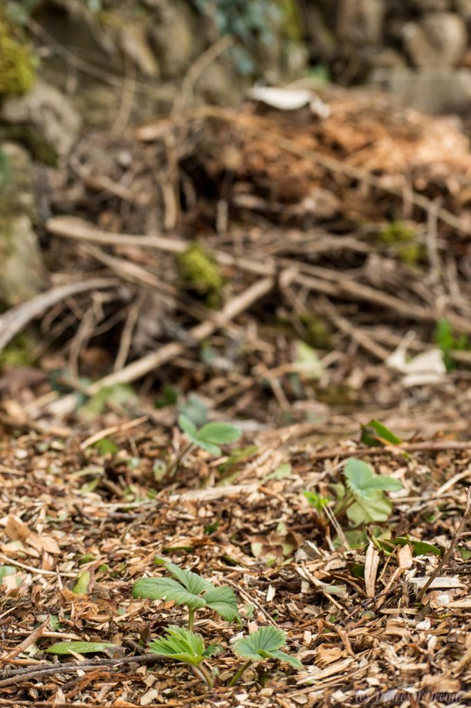 fraisiers paillage présentation de la permaculture bois morts hotel a insectes
